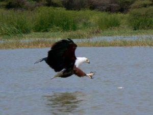 fish-eagle-640x479-640x479